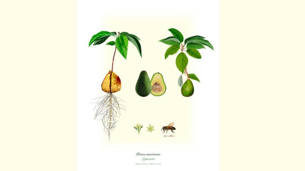 Los combates del aguacate: De la poética culinaria a la política colombiana - cocina