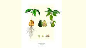 Los combates del aguacate: De la poética culinaria a la política colombiana -