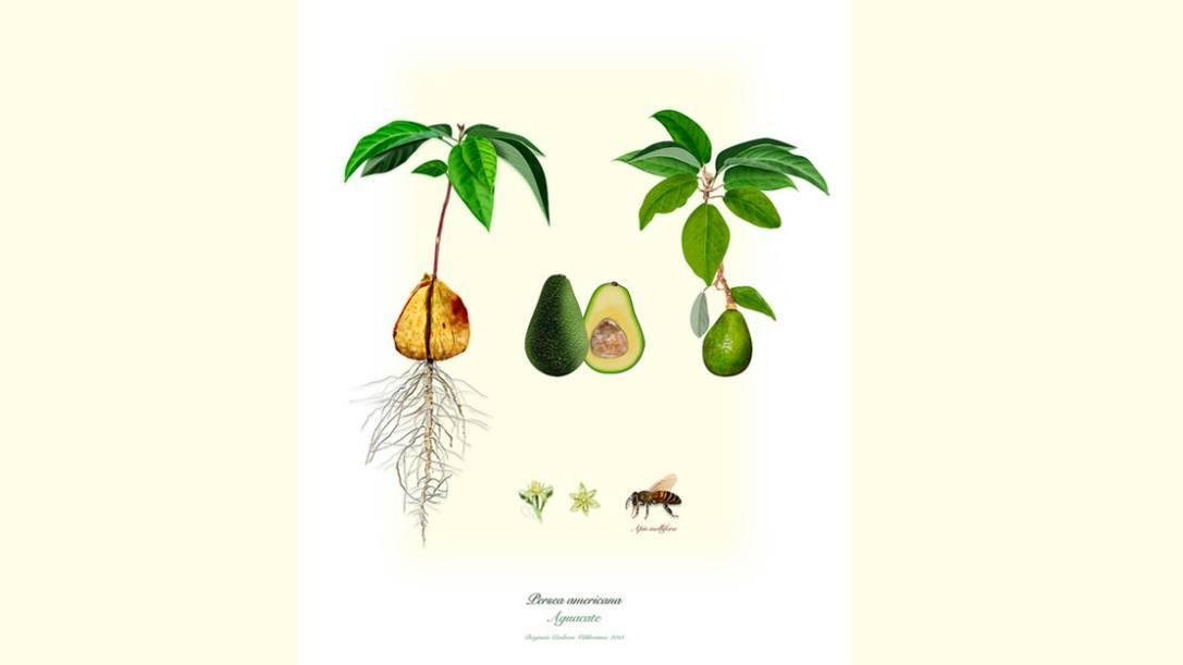Los combates del aguacate: De la poética culinaria a la política colombiana - gastronomia